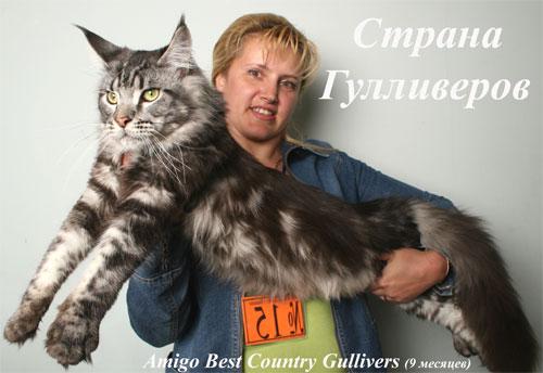 вы сможете посмотреть в рубрике: кошка мэйкун и кот фото мраморный.