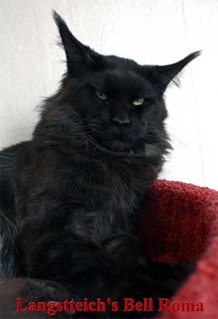 Мэйкун кот в барнауле.